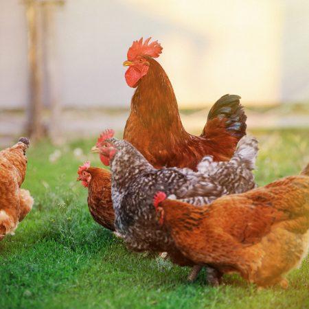 Chickens in sunny grass