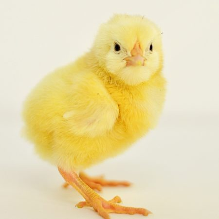 Cornish Cross Broiler Chick